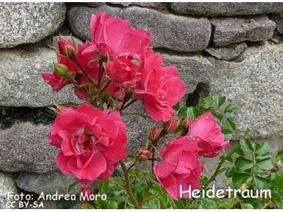 Heidetraum