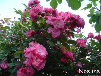 Noelline