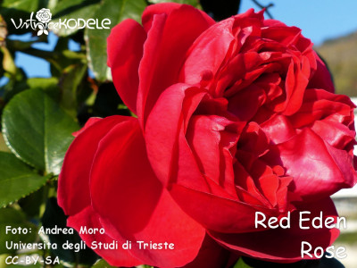 Red Eden Rose