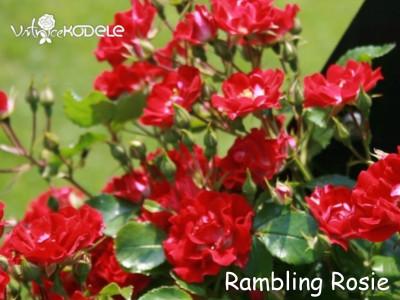 Rambling Rosie
