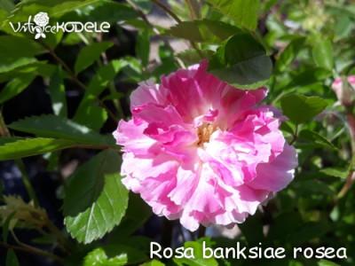 Rosa banksiae rosea