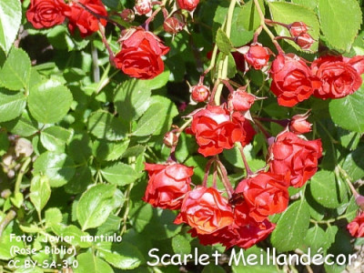 Scarlet Meillandécor