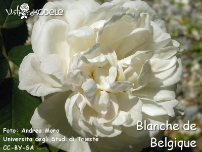Blanche de Belgique