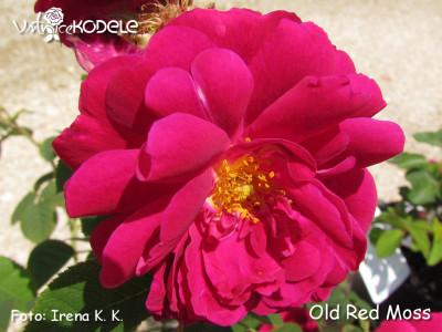 Old Red Moss (Muscosa rubra)
