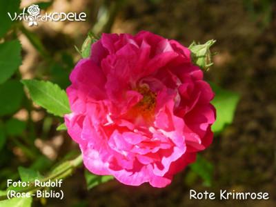 Rote Krim rose