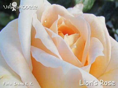 Lions-Rose