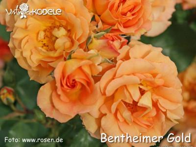 Bentheimer Gold