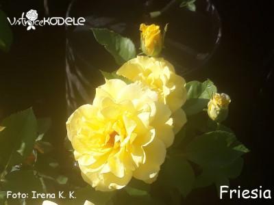 Friesia
