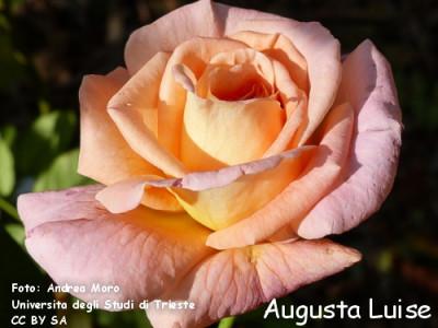 Augusta Luise