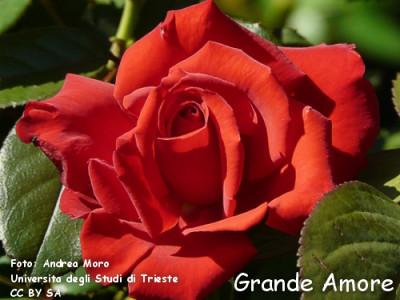Grande Amore