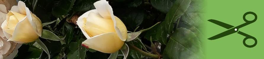 Za rezano cvetje