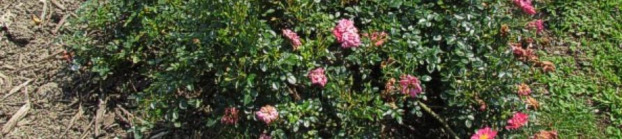 Prekrovne vrtnice