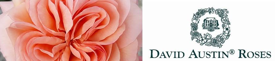 Angleške vrtnice (Austin)