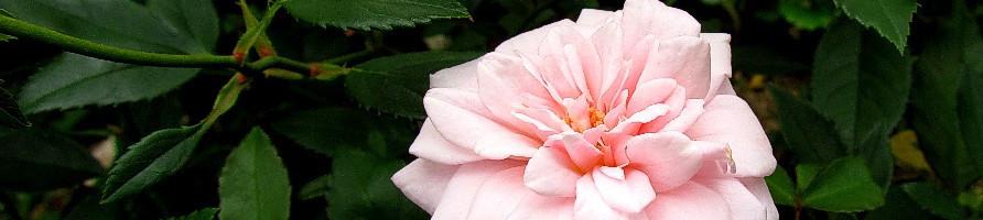 Vrtnice brez trnov