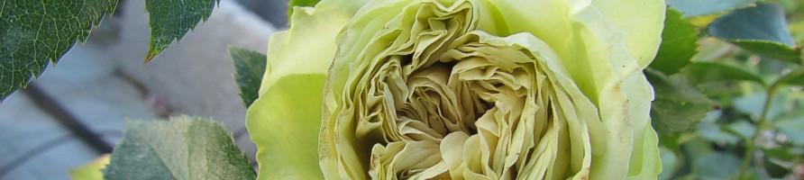 Redke vrtnice