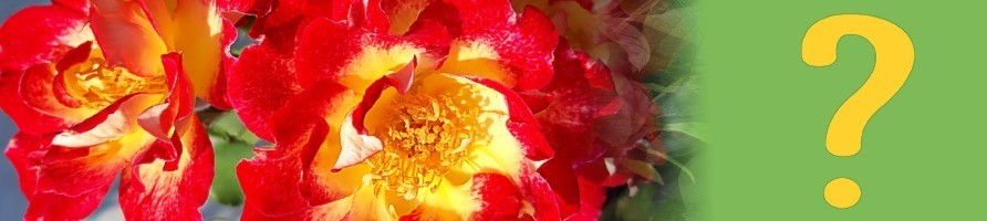 Iščem vrtnico za ...