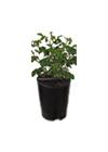 sadika v loncu (6 litrov) - Vrtnice Kodele
