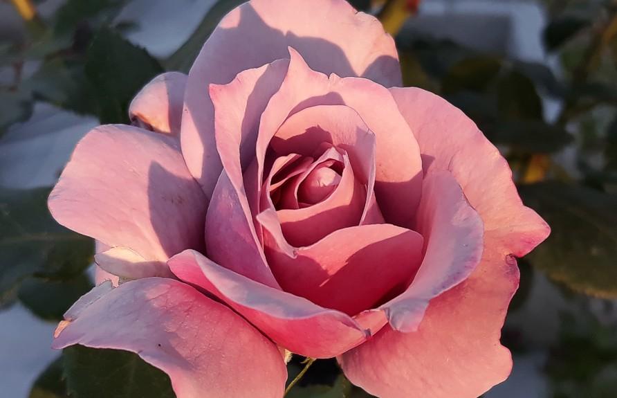 Obrezovanje skrižanih čajevk in mnogocvetnic